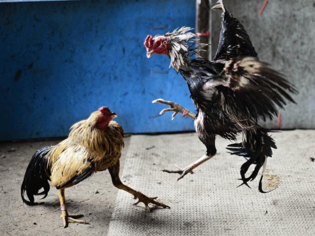 Cara Memilih Situs Sabung Ayam S1288 Terpercaya