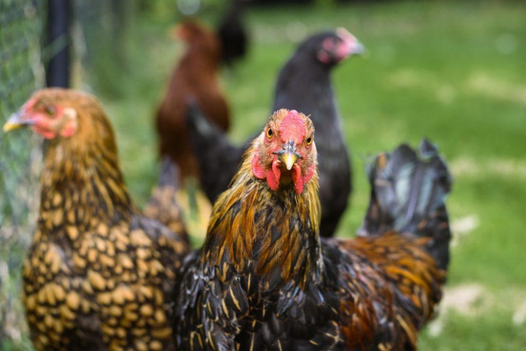 Indukan Ayam